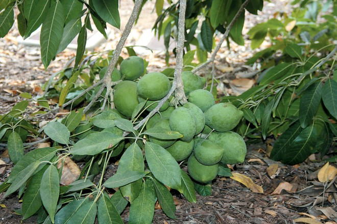 Ripening fruits of 'Wilson' sapote (Casimiroa edulis 'Wilson')