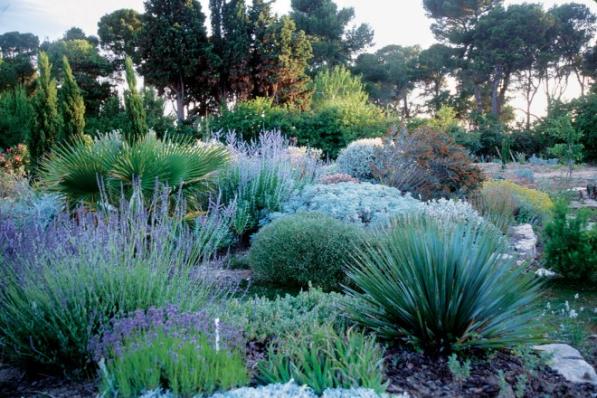 Olivier's unwatered garden in the late afternoon light of early July, lavenders dominating