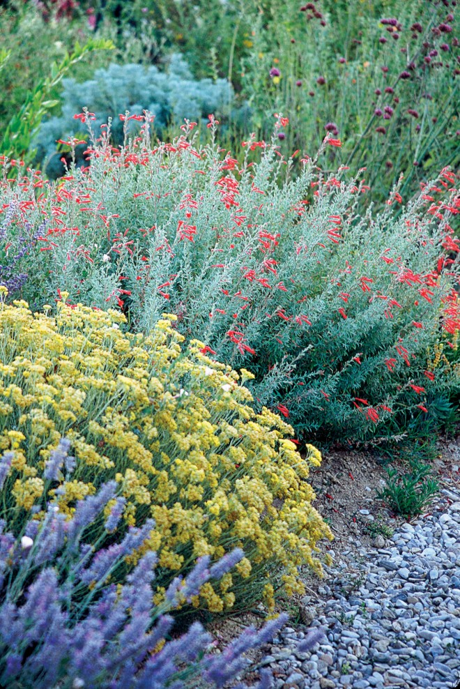 Two Californians in Olivier's garden: wild buckwheat (Eriogonum) and California fuchsia (Epilobium canum)