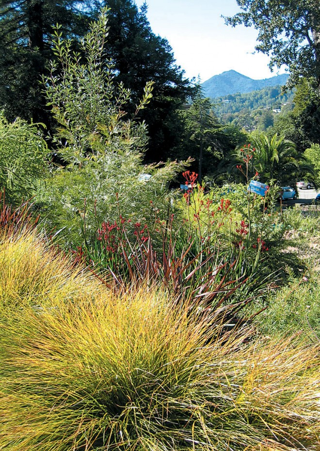 Golden pheasant's tail grass (Anemanthele lessoniana), kangaroo paws (Anigozanthos), and various acacias help frame a view to Mt. Tamalpais
