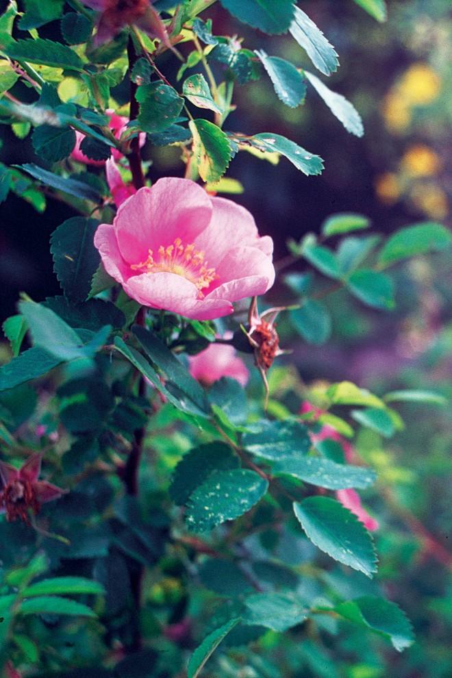 Nootka rose (Rosa nootkana)