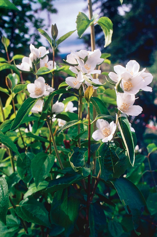 Mock-orange (Philadelphus lewisii)