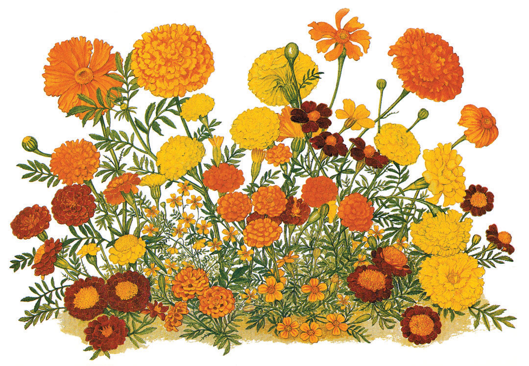Marigold Flower Line Drawing : Pacific horticulture society the marigold in california