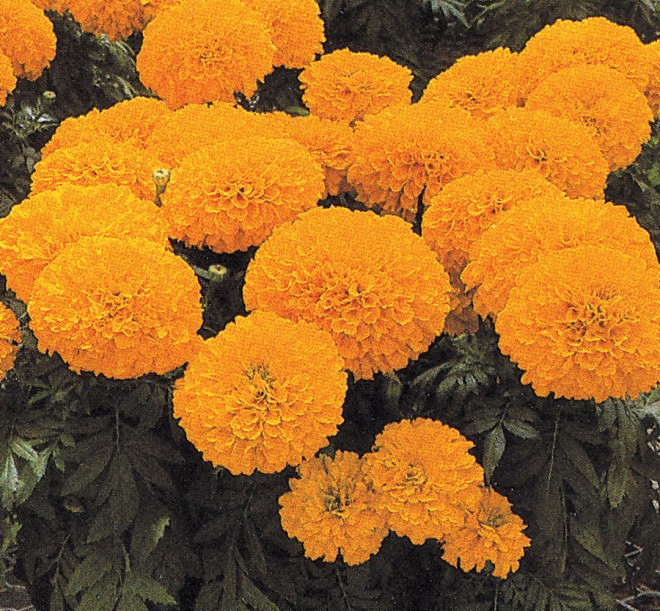 One of Mathilde Holtrop's finest introductions, Tagetes 'Inca'. Photographer unknown; reproduced by permission Glenn Goldsmith - See more at: http://www.pacifichorticulture.org/articles/the-marigold-of-california/#sthash.7aJgQhU4.dpuf