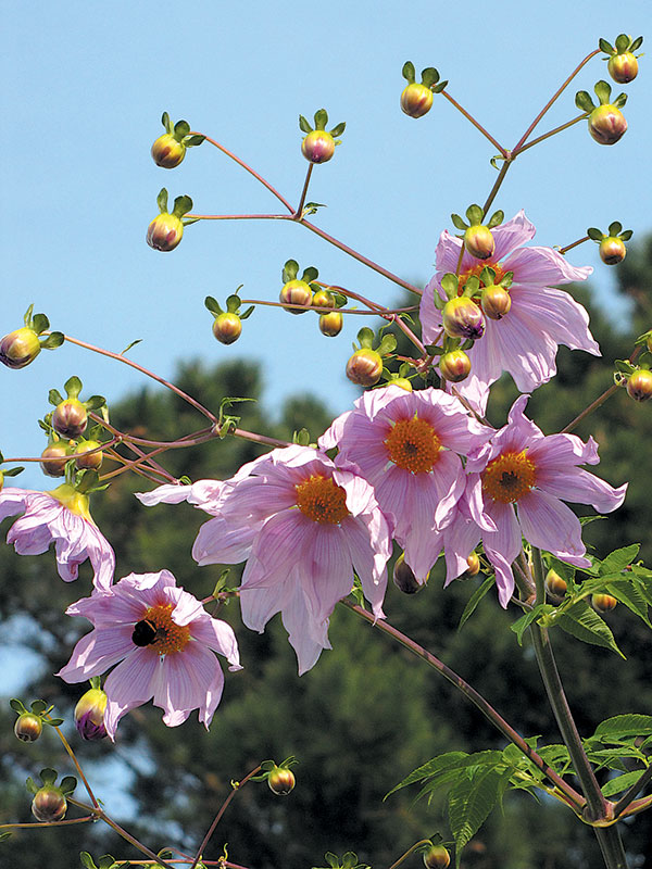 Tree dahlia (Dahlia imperialis) flowering in November in a San Francisco garden. Photographs by RGT
