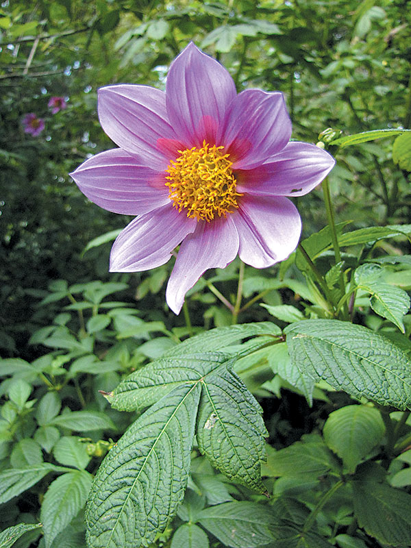 Outfacing blossom of Dahlia tenuicaulis flowering in the New World Cloud Forest collection at San Francisco Botanical Garden in July