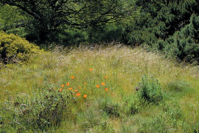 California poppies brighten a needlegrass meadow. Photograph by John Evarts