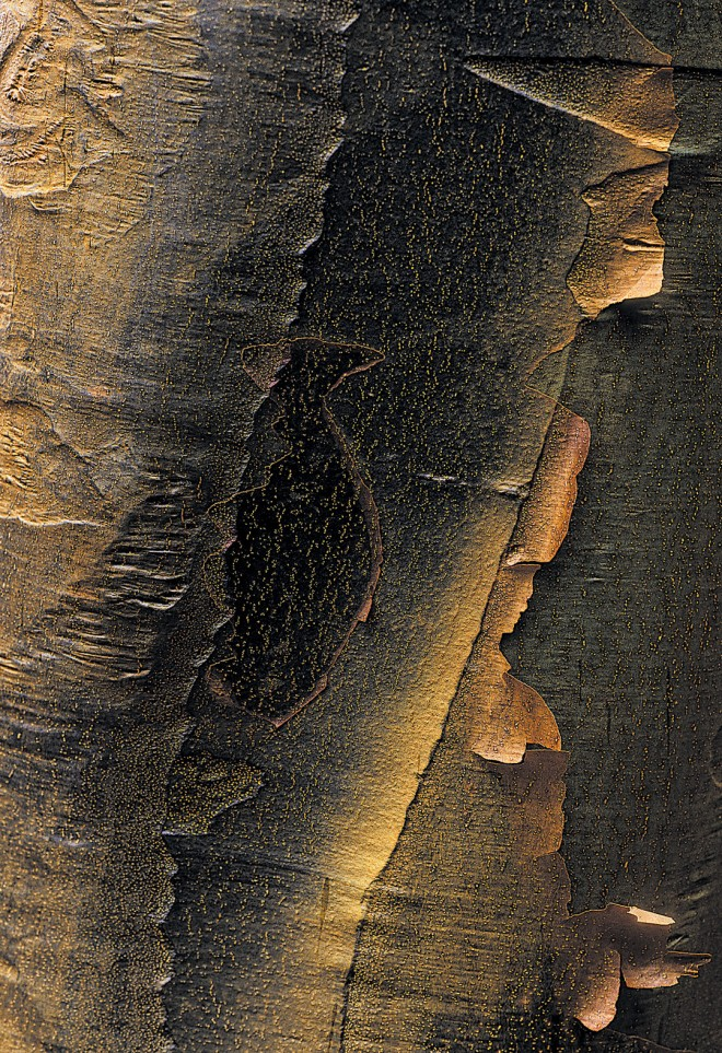 Deeply colored and flakey bark of paperbark maple (Acer griseum)