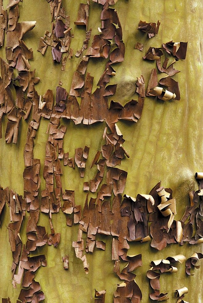 As the old bark peels away, the younger, brighter bark is revealed on madrone (Arbutus menziesii). Photographs by Al Dodson