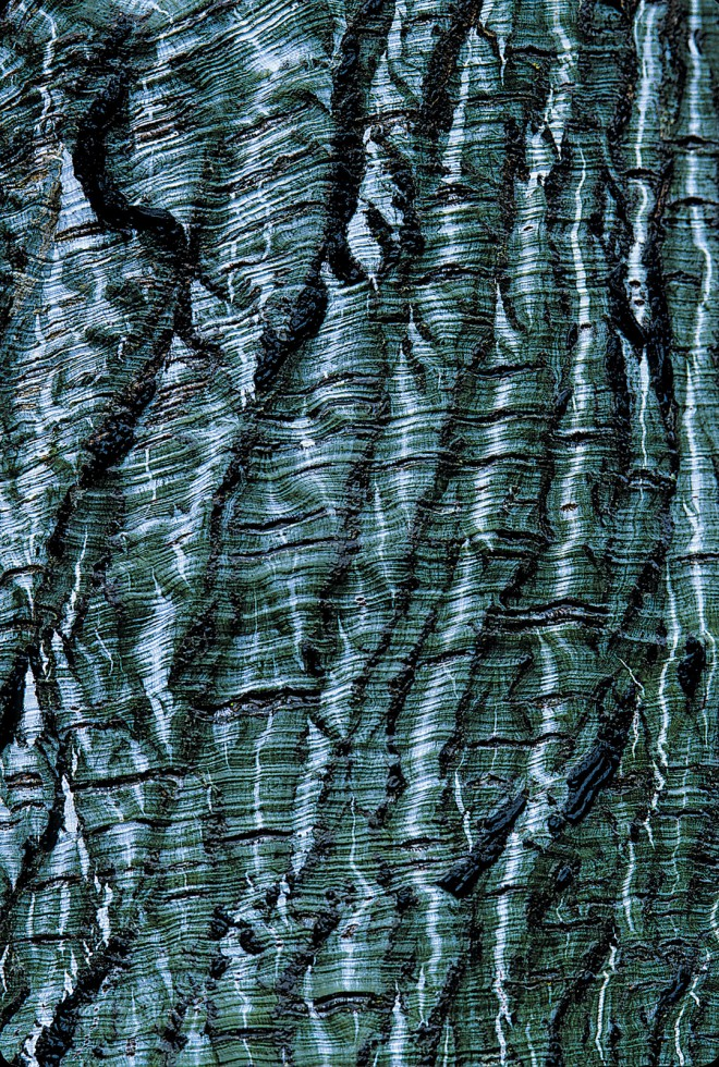 Striped-bark maple (Acer tegmentosum) retains its bark pattern into old age