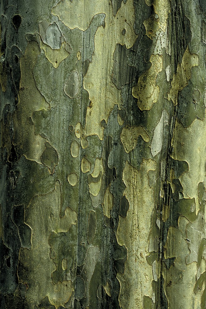 A fluted trunk and green bark of (Pseudocydonia sinensis)