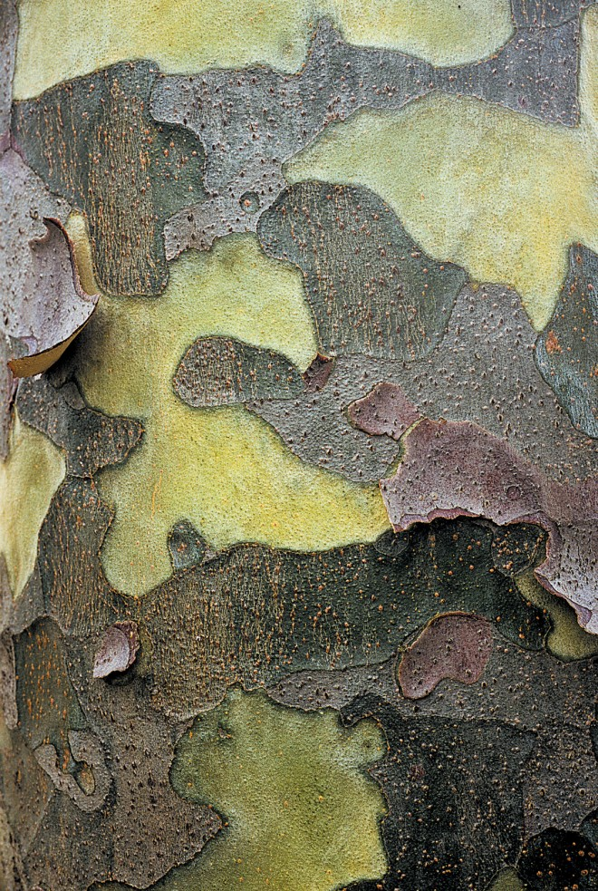 Colorfully patterned bark on lacebark pine (Pinus bungeana)