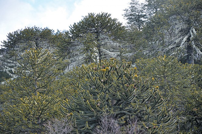 Pehuén or monkey puzzle trees (Araucaria araucana) in Parque Nacional Nahuelbuta