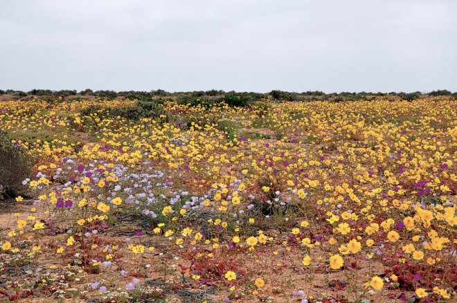 Sheets of annual patas de guanaco (Calandrinia litoralis and Cistanthe longiscapa), yellow and pink respectively, along the road south of Bahia Inglesa. Author's photographs
