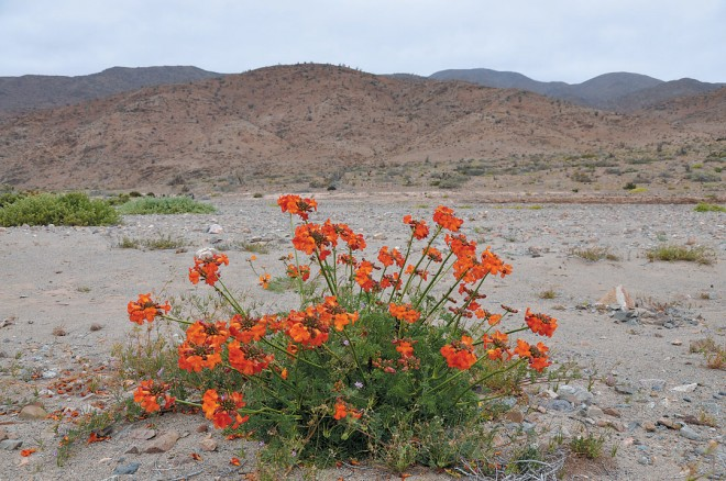 Argylia radiata (orange form) along Carrizal Bajo-Vallenar road