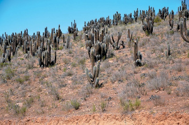 A hillside of columnar cacti (Eulychnia acida) along the road to Parque Nacional Bosque de Fray Jorge