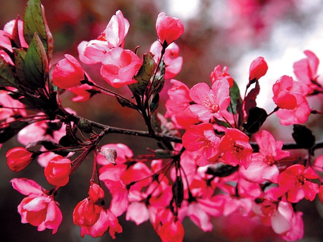 Crabapple (Malus'Strawberry Parfait'). Photograph courtesy Great Plant Picks