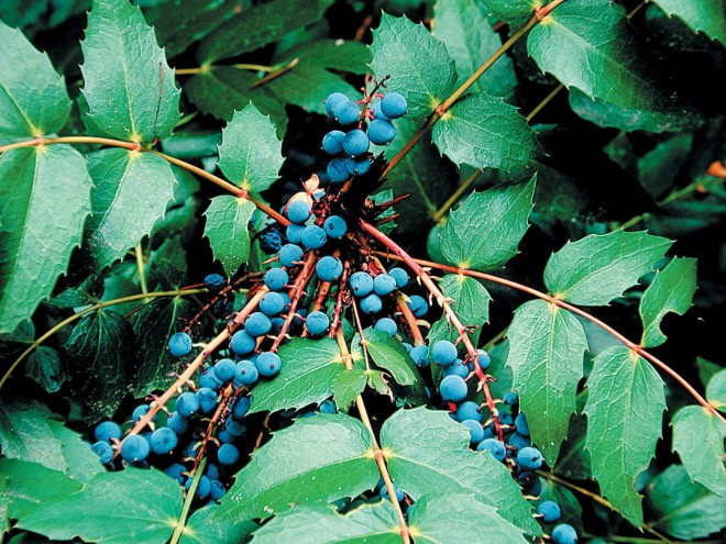 Dwarf Oregon grape (Mahonia nervosa). Photograph courtesy Great Plant Picks