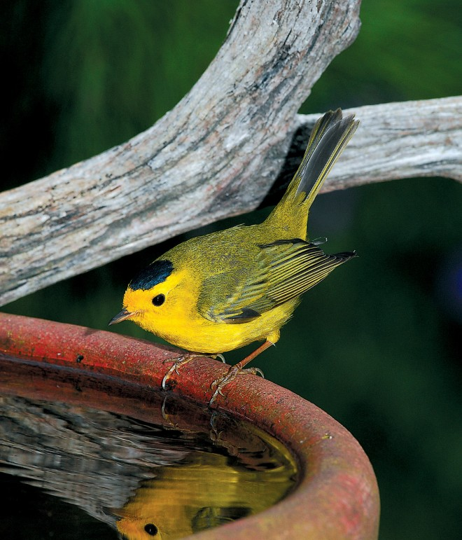 An adult male Wilson's warbler (Wilsonia pusilla) eyeing his reflection