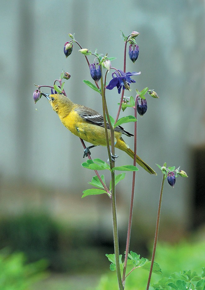 Hooded oriole (Icterus cucullatus) feeding on nectar from a columbine (Aquilegia)