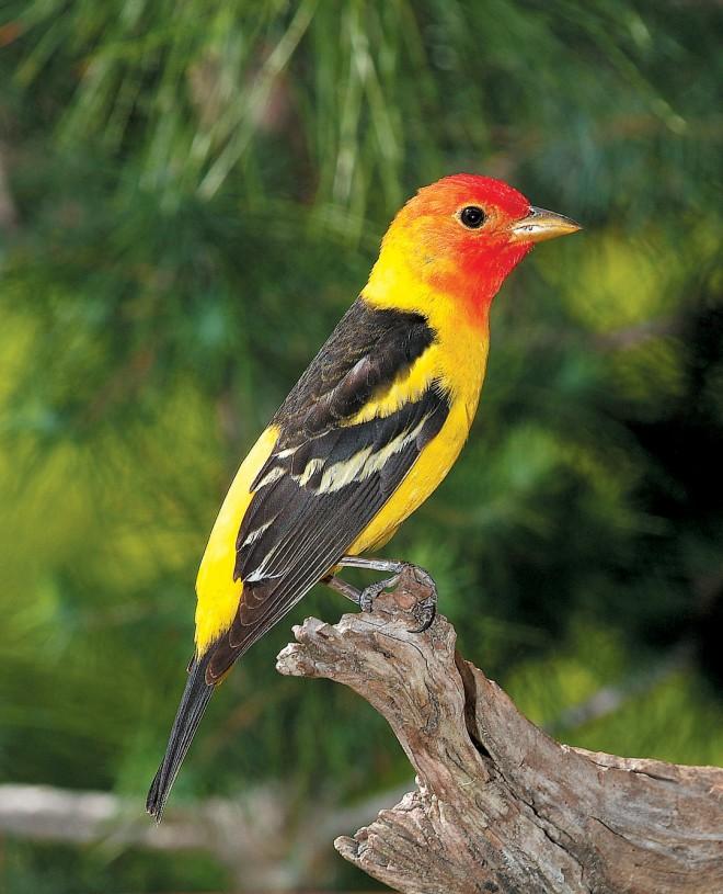 Western tanager (Piranga ludoviciana)
