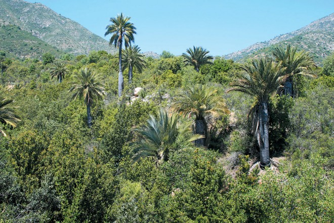Chilean palm (Jubaea chilensis) in its natural habitat. Hacienda Cocalán, Las Cabras, Chile. Photograph by L Alberto Gonzalez