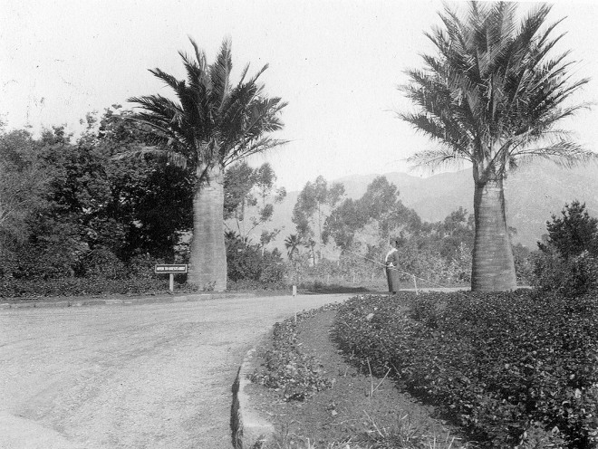 A fine pair of Chilean palms (Jubaea chilensis) flanking the gate to Lotusland, Santa Barbara, California, in the early 1900s. Photograph courtesy of the Lotusland archives