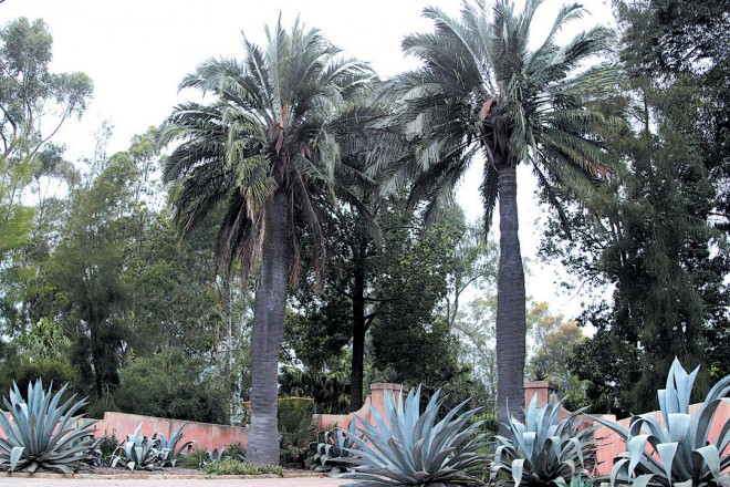 The same two Chilean palms at Lotusland today. Photograph courtesy of the Lotusland archives