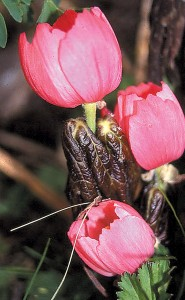 Flowers on Podophyllum hexandrum, among the largest of the genus and typically up-facing. Photograph by Diana Reeck