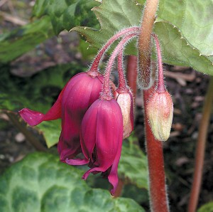 Flowers of Podophyllum 'Spotty Dotty'