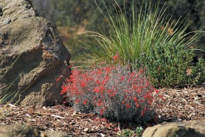 California fuchsia (Zauschneria cana, syn. Epilobium canum), one of John's favorite native plants
