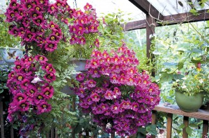 Elvin Bishop's expertise is not limited to vegetables; here Schizanthus glory in their hanging baskets