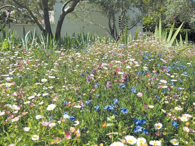 A meadow-like carpet of flowers blooms in spring in the author's former garden; highlights are blue Lithodora diffusa and white Mexican fleabane (Erigeron karvinskianus)