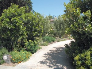 The curving driveway allowed for the planting of two Arbutus 'Marina', to the right, that help screen the view of her former garden