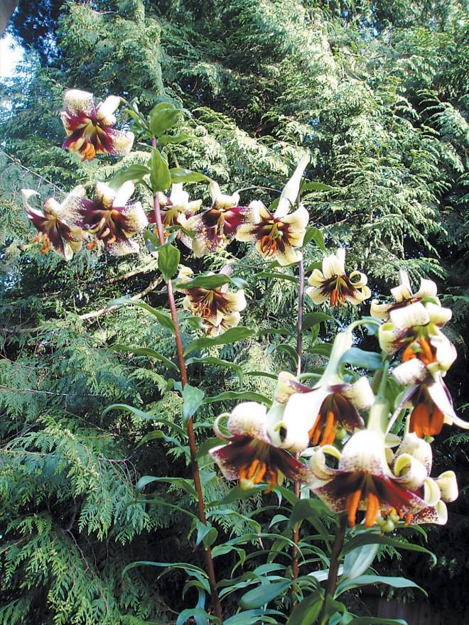 Lilium majoense