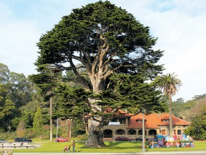 Monterey cypress (Hesperocyparis macrocarpa, formerly Cupressus macrocarpa). Author's photographs