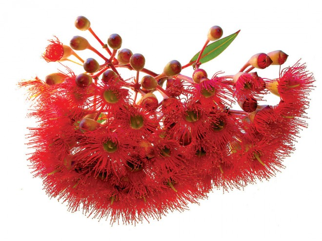 Red-flowering gum (Corymbia ficifolia, formerly Eucalyptus ficifolia)