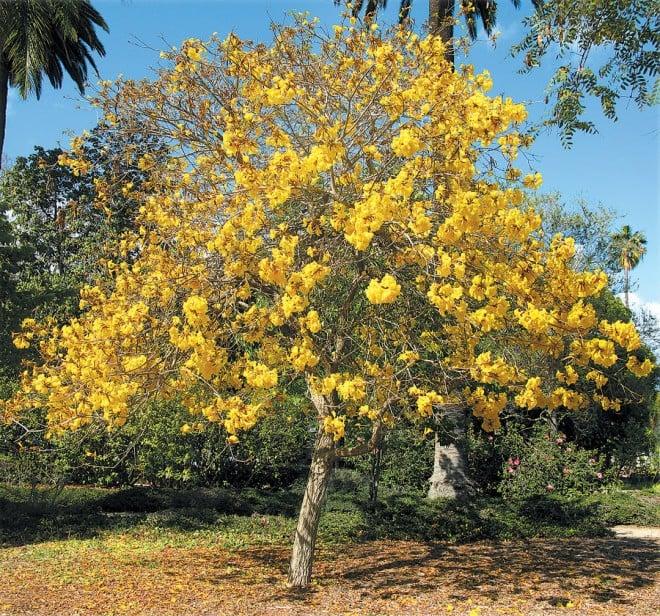 Golden trumpet tree (Handroanthus chrysotrichus)