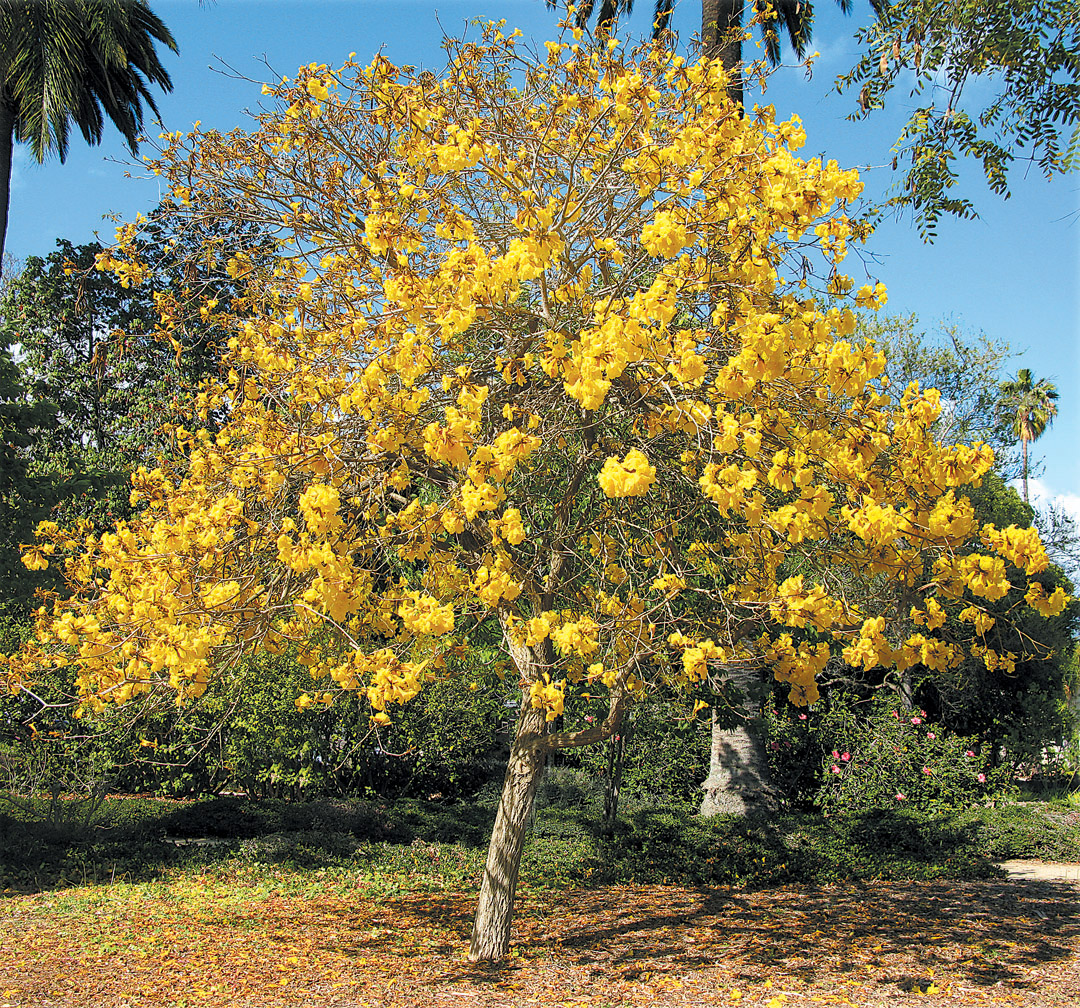 Pacific Horticulture Society Striving For Diversity The Trumpet Trees