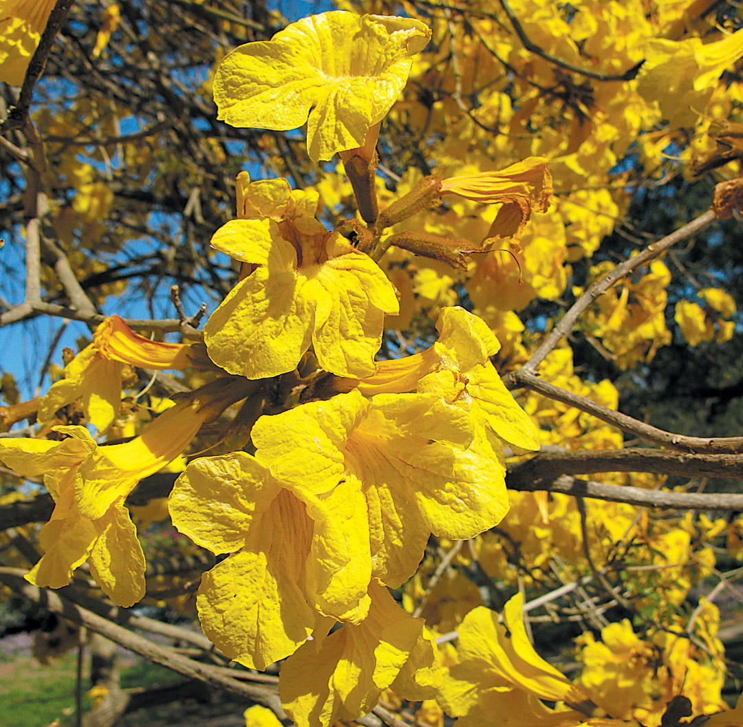 Pacific horticulture society striving for diversity the trumpet trees golden trumpet tree emhandroanthus mightylinksfo Image collections