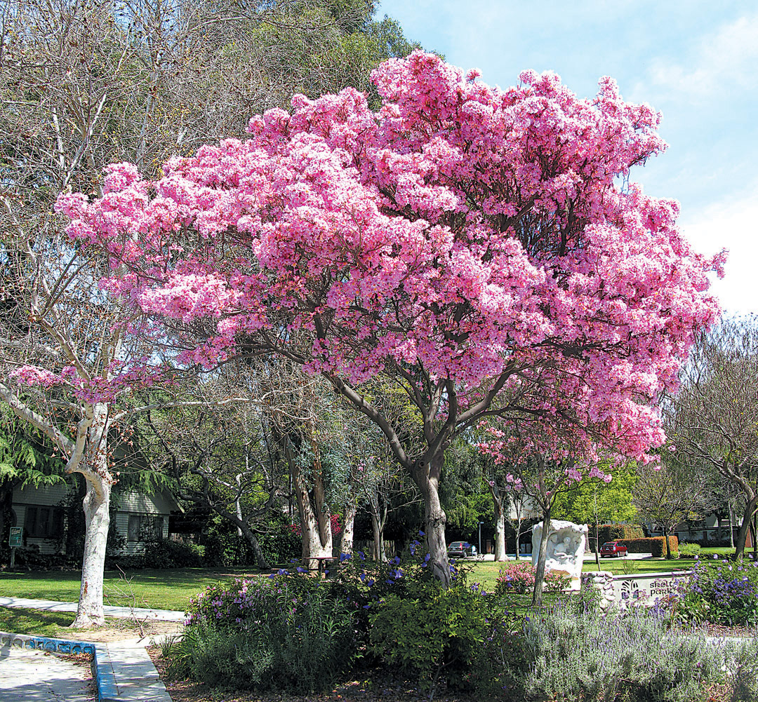 Pacific horticulture society striving for diversity the trumpet trees pink trumpet tree handroanthus impetiginosus authors photographs mightylinksfo