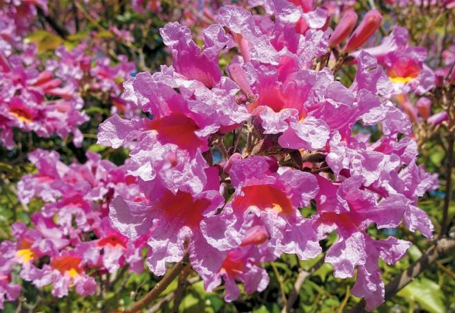 Pink trumpet tree (Handroanthus impetiginosus)