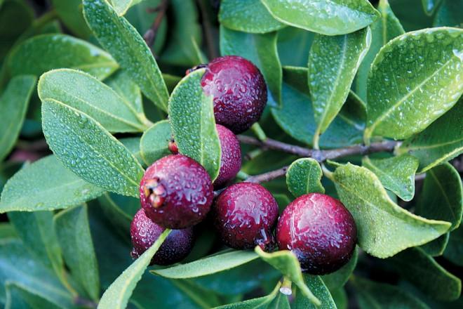 Strawberry guava (Psidium cattleianum).Author's photographs