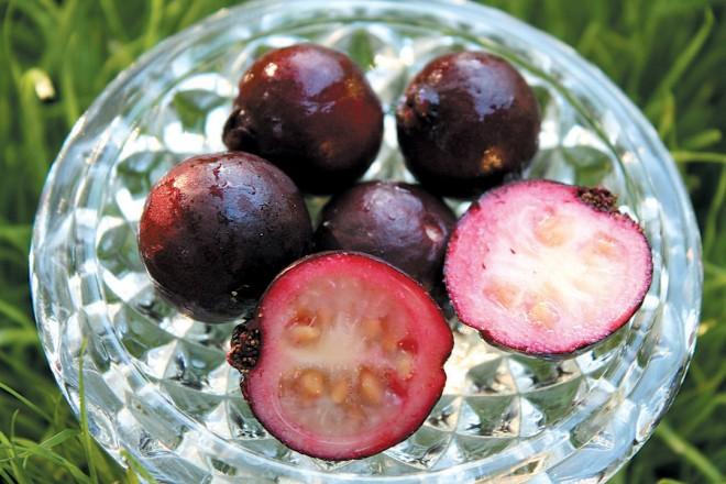 Strawberry guava (Psidium cattleianum)
