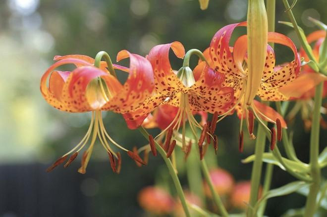 Leopard lily (Lilium pardalinum). Photograph by Philip Van Soelen