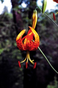 Humboldt lily (Lilium humboldtii). Photographs by Bart O'Brien, except as noted