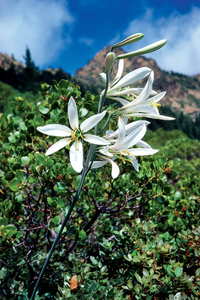 A freshly opened Shasta lily (Lilium washingtonianum subsp. purpurascens) in the Siskiyou Mountains. Photograph by Roger Raiche