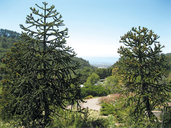 A view through the UC Botanical Garden's grove of monkey puzzle trees (Araucaria araucana) to the Bay. Photograph by RGT