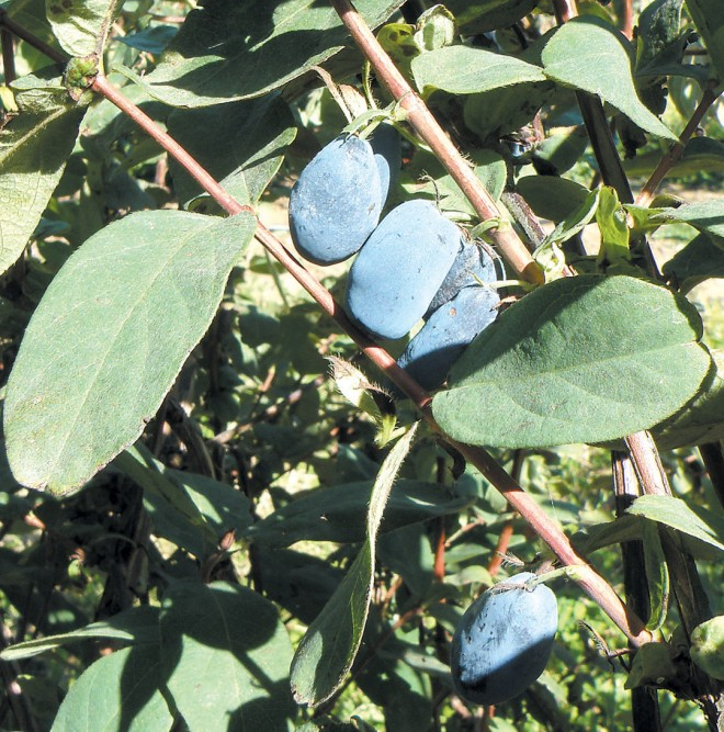 Blue honeysuckle or Japanese haskap (Lonicera caerulea var. emphyllocalyx). Author's photograph