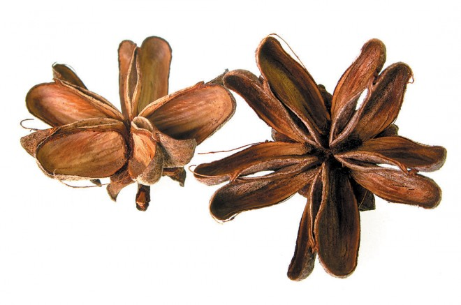 Fruits of soapbark tree (Quillaja saponaria)